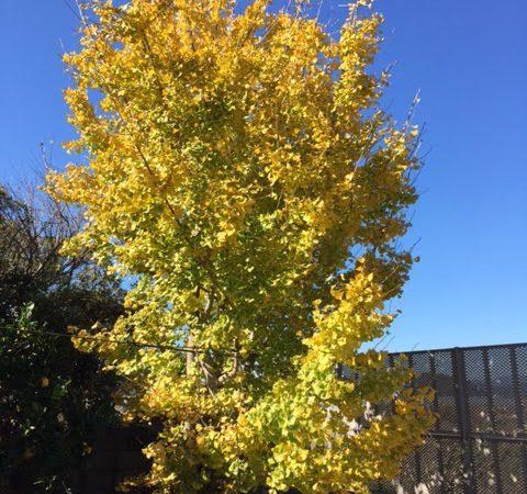 青空の中の銀杏の木