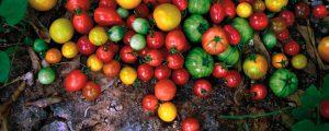 トップイメージ カラートマト